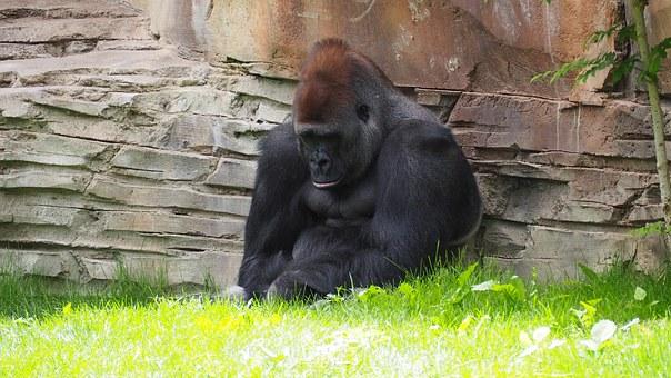 Gorille qui boude dans son coin