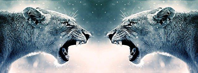 Lionnes face à face