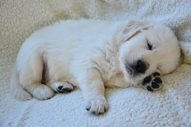 Petit chiot qui dort confortablement installé